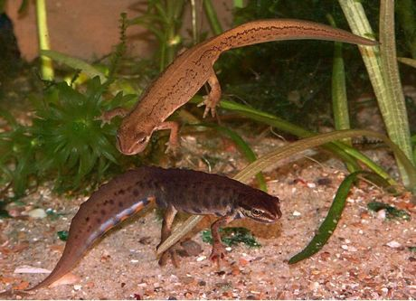 Newts – what do they eat? What eats them? | nurturing nature