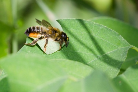 Solitary Bees The Leaf Cutter