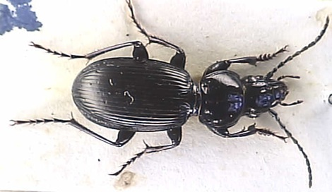 The predatory black found beetle